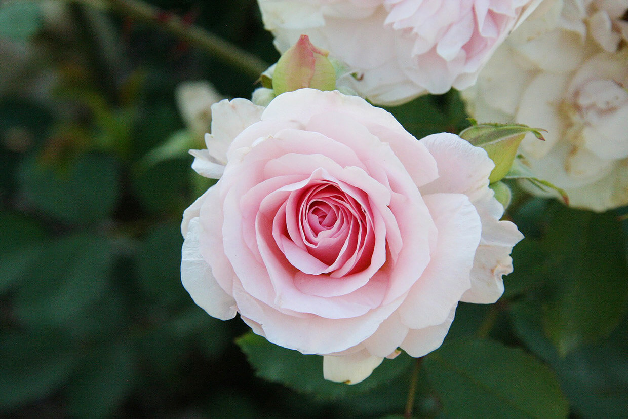 How Roses From St. Therese Changed My Life Forever - Abby Sasscer